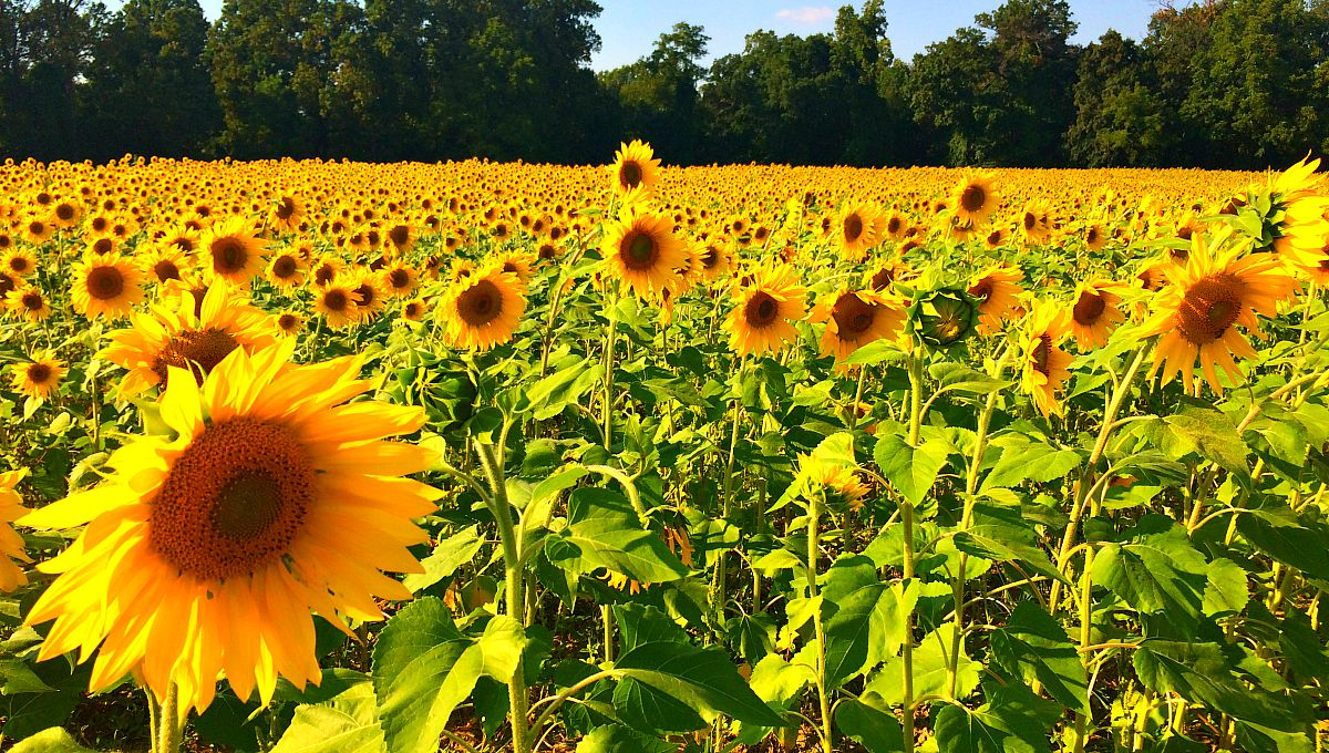 SUBMIT: clear-meadow-farms-sunflowers-2.jpg